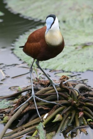 African Jacana  (photo courtesy Jessica)