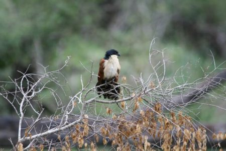 Burchell's Coucal (photo courtesy Jessica)