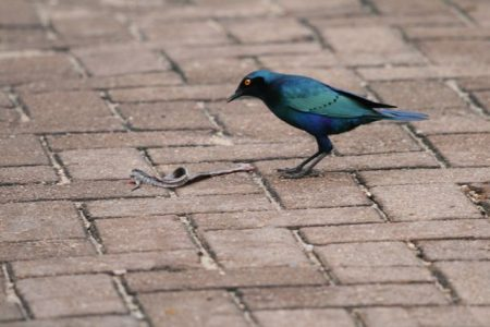 Cape Glossy Starling  (photo courtesy Jessica)