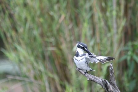 Pied Kingfisher  (photo courtesy Jessica)
