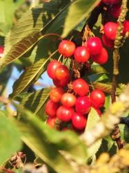 LOTS of cherries