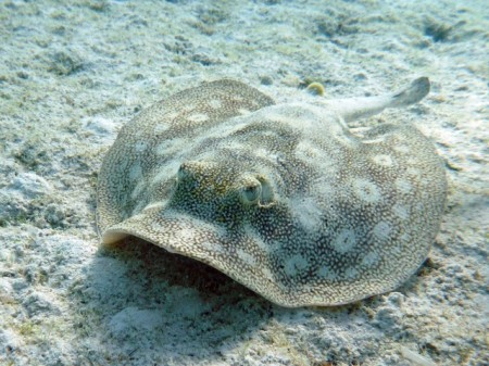 A spotted ray
