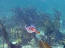 The elusive Cuttlefish