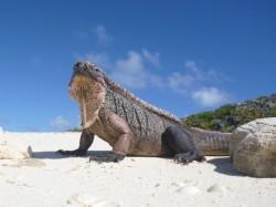 One of many giant Iguanas