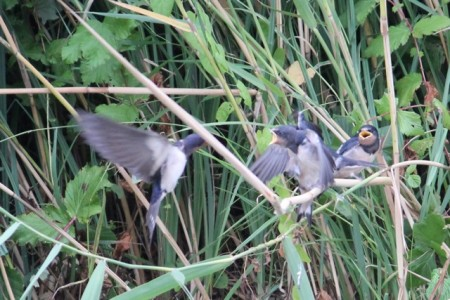 Baby swallows/martins get their morning meal