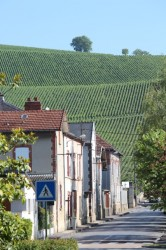 Vines in the town of Ay