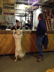 They serve everyone at Crazy Mtn Brewery