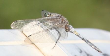 "A dragonfly visits ""Après Ski"""
