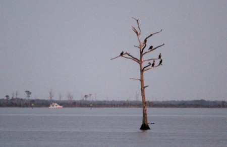 A cormorant roost in the Alligator River