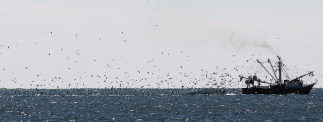 Buffet dinner for the seagulls near Beaufort, NC