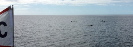 Some pilot whales during our crossing from Eleuthera