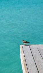 Shorebird at [redacted] Cay