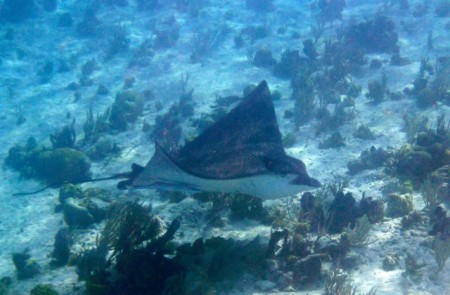 Small spotted eagle ray