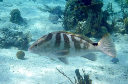 Party-platter-sized grouper