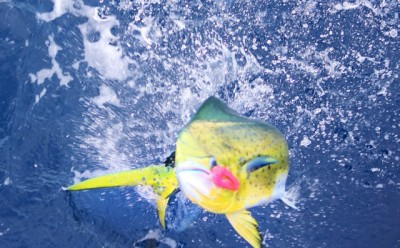 Mahi number two with our lucky pink lure