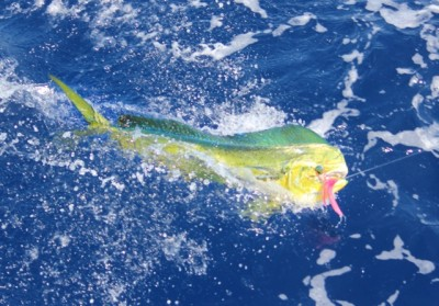 One of the two Mahi, with our lucky pink lure
