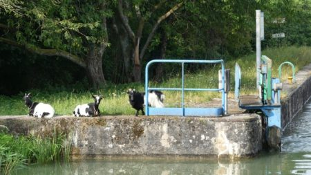 Goats lounging at the lock