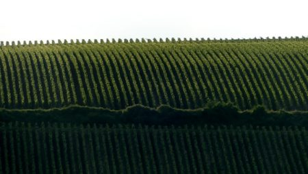 Grapevines in the Marne valley